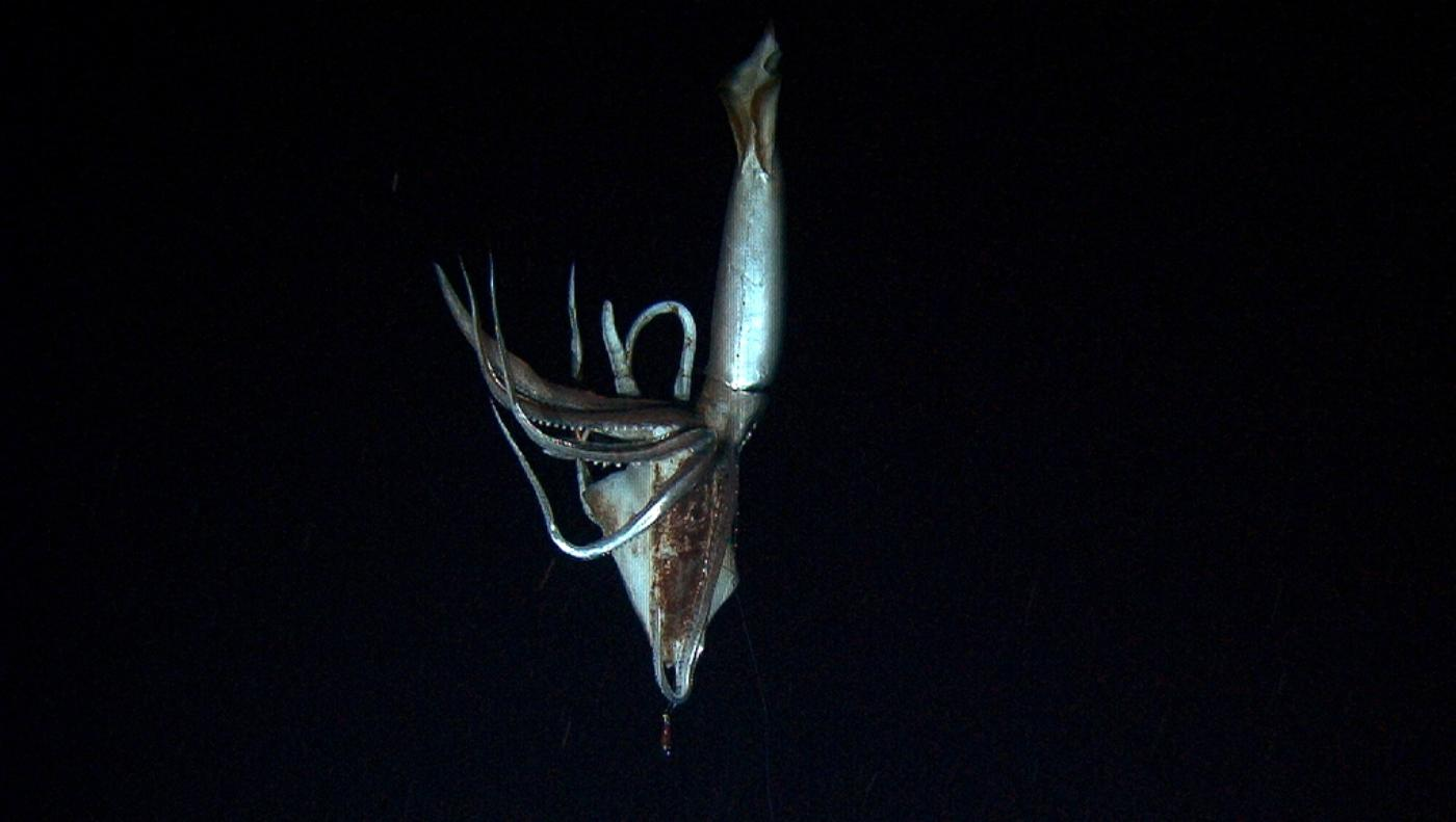 Giant squid filmed assaulting and squirting ink at a Greenpeace submarine