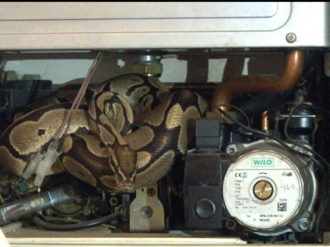 Forget the spider invasion – imagine finding a python in your boiler