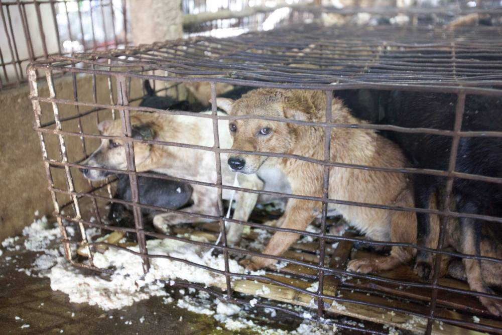 Channel 4 documentary lifts lid on pet dogs stolen for diners in Vietnam