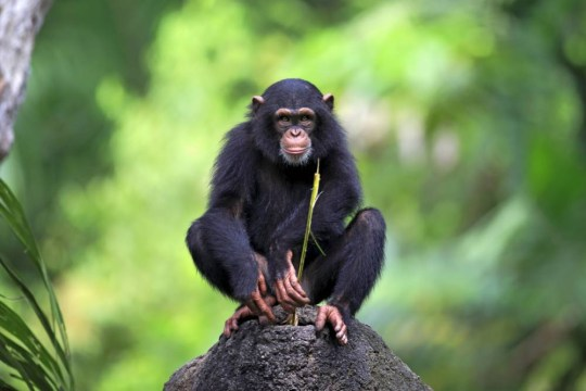 Mandatory Credit: Photo by imageBROKER/REX (4151048a) Chimpanzee (Pan troglodytes), young, perched on a rock, feeding, native to Africa, capive, Singapore VARIOUS