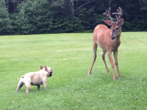 Deer and french bulldog become friends and play in the garden