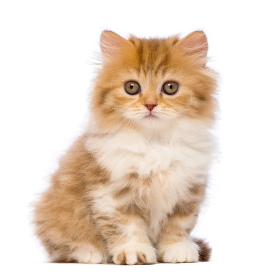 British Longhair kitten, 2 months old, sitting and looking at th