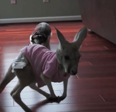 Watch as an anteater intimidates baby kangaroo