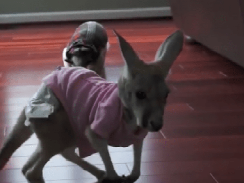 Watch as an anteater intimidates baby kangaroo
