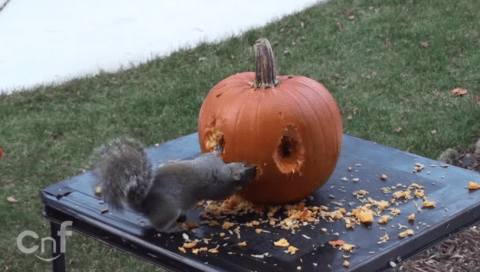 It's almost Halloween, so how about a squirrel carving a pumpkin?