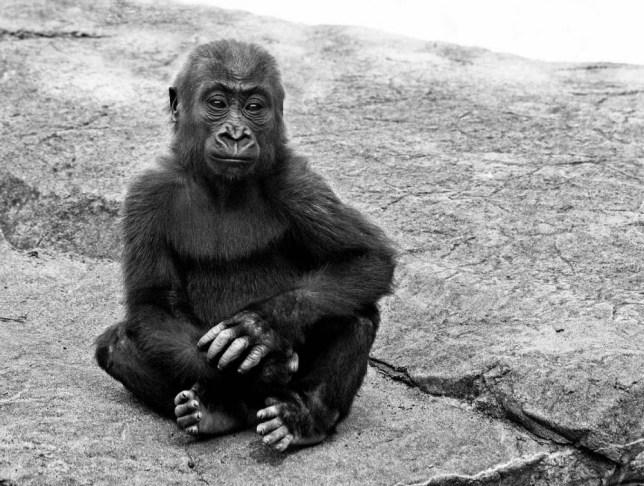 Kabibe, gorilla