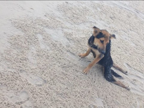 Dog given a new home after being found unable to walk on a beach in Thailand