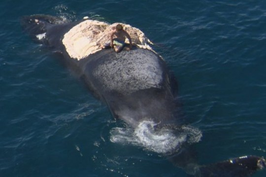 Harrison Williams conceded that climbing on top of the whale was not smart (Picture: 7 News Perth)