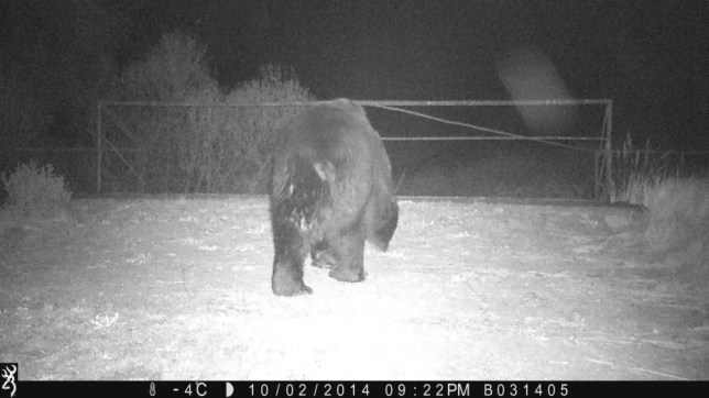 """Brown bears return to Chernobyl after a century away..Scientists have captured what is believed to be the first photographic evidence of brown bears within the Chernobyl Exclusion Zone (CEZ).....Camera traps, used by a project assessing radioactive exposure impacts on wildlife, recorded the images.....Brown bears had not been seen in the area for more than a century, although there had been signs of their presence.....The exclusion zone was set up after an explosion at the Chernobyl nuclear power plant in Ukraine in April 1986.....""""Our Ukrainian colleague, Sergey Gashchak, had several of his camera traps running in one of our central areas over the past few months in order to start to get a feel for what (wildlife) was there,"""" explained project leader Mike Wood from the University of Salford.....He told BBC News that data retrieved from one of the cameras in October contained images of a brown bear.....""""There have been suggestions that they have existed there previously but, as far as we know, no-one has got photographic evidence of one being present on the Ukrainian side of the exclusion zone,"""" Dr Wood said.....""""We are basically working on the assumption that as you move people out of the equation and human pressure and disturbance is removed, then any animals that have a corridor into the exclusion zone find they are suddenly away from the pressures and dangers presented by people.""""....Following the April 1986 explosion - described as the world's worst nuclear power plant accident - more than 110,000 were moved from their homes as a 30km-radius exclusion zone was established around the damaged nuclear reactor.....In the subsequent years, the area has provided a valuable source of data for scientific research into the impact of radioactive contamination.....Dr Wood's team's project is part of a five-year research programme called Transfer, Exposure, Effects (Tree), which will aim to """"reduce uncertainty in estimating the risk to humans and wildlife associated with e"""