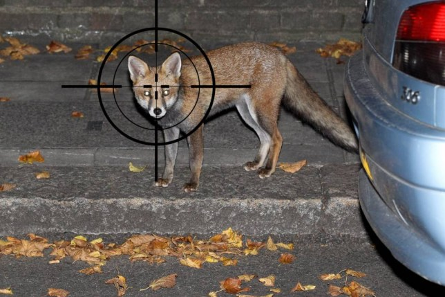 LONDON, ENGLAND - OCTOBER 18:  An urban fox forages for food at dawn on a suburban street on October 18, 2010 in London, England. Britain's urban fox population has grown over the last 70 years to more than 34,000 and now constitutes 14 per cent of the UK's total fox numbers.  (Photo by Oli Scarff/Getty Images)