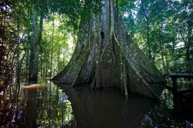 PERU - MAY 22:  The base of a Samauma tree, Ceiba pentandra, in a flooded rainforest. Marasha Reserve, Amazon River Basin, Peru.  (Photo by Kike Calvo/National Geographic/Getty Images)