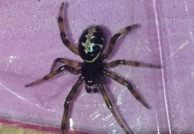 """Picture shows the potentially poisonous spider that was found in a punnet of grapes bought from Tesco.  See Ross Parry copy RPYSPIDER : A 10-year-old boy got the shock of his life when a potentially poisonous SPIDER crawled out of a punnet of grapes. Rhys Rackham was munching his way through the healthy snack, bought from Tesco in Goole, East Yorks., when the black creepy crawly appeared.  The youngster screamed to his grandparents, who quickly identified the four-inch insect as a false widow spider, normally found in southern Europe, north Africa and west Asia.  His grandfather, retired prison officer Ken Walder, 70, said: """"He was just sitting eating the grapes and was suddenly startled by it, saying there was a spider in there."""
