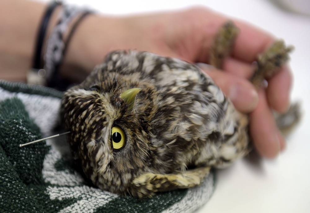 """TO GO WITH STORY BY ROLAND LLOYD PARRY -  A """"Little owl"""", or Athene Noctua receives acupuncture treatment at Brinzal, an owl-rescue charity based in a park in the west of Madrid, on November 25, 2014. Two months ago this 25-centimetre (10-inch) bird, hurt his back when he flew by mistake into a stovepipe at a factory in eastern Madrid. About 1,200 birds are brought to the centre each year, of which about 70 percent recover and can be returned to the wild, says Brinzal's co-ordinator, Patricia Orejas. AFP PHOTO/ GERARD JULIENGERARD JULIEN/AFP/Getty Images"""