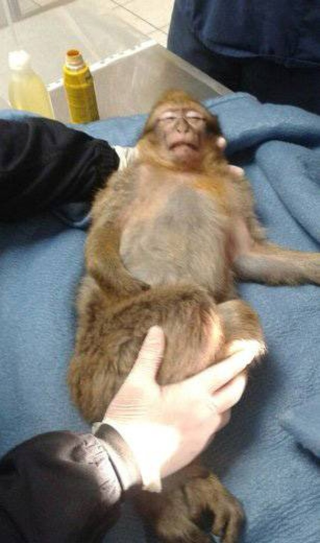A macaque subsisting on chocolate handouts from children terrorized Marseille residents until police finally captured the primate Monday by using a stun gun. The monkey survived and will join a local zoo.