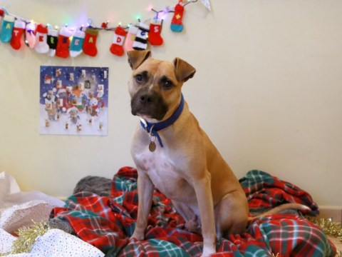 Meet Biscuit, Battersea's longest serving resident, who would love to find his forever home this Christmas
