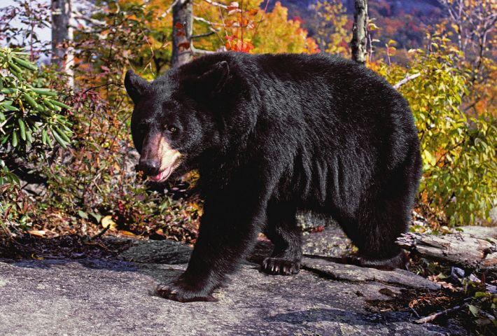 Black bear, car crash