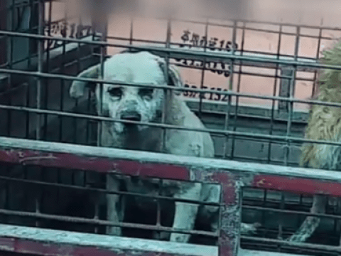 Shocking images of dogs being skinned alive to make leather gloves