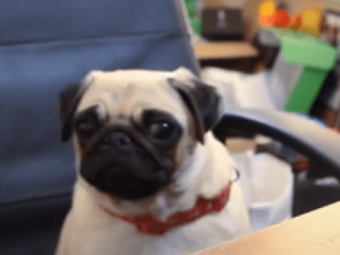 Internet brace yourselves, it's a pug playing Minecraft
