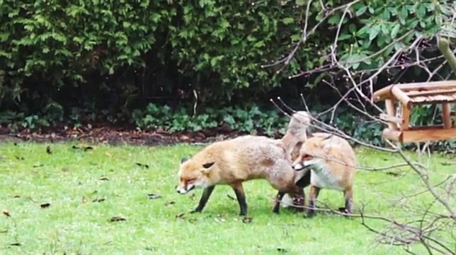 Peter Komoll Calls Police Over Foxes Having Abnormally -7263