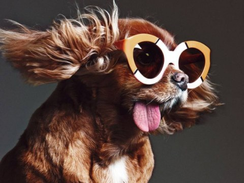 Meet Toast,  the doggy star of Karen Walker's latest sunglasses campaign