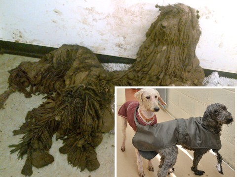 Poodles found in such bad condition they couldn't stand or see