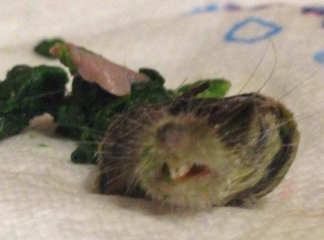 The remains of a rat which Terri Powis said she found in her frozen spinach. See SWNS story SWRAT: A woman had the shock of her life when she opened a bag of Asda frozen spinach - only to find a severed RAT'S HEAD. Disgusted Terri Powis, 33, bought the 98p own-brand bag of veg to enjoy with her chicken dinner. But she was horrified to a find thumb-sized and perfectly-preserved rat's head when she began defrosting the spinach in a steamer. The accounts assistant didn't notice the severed head to begin with as it was wrapped up in a clump of the green leaves.