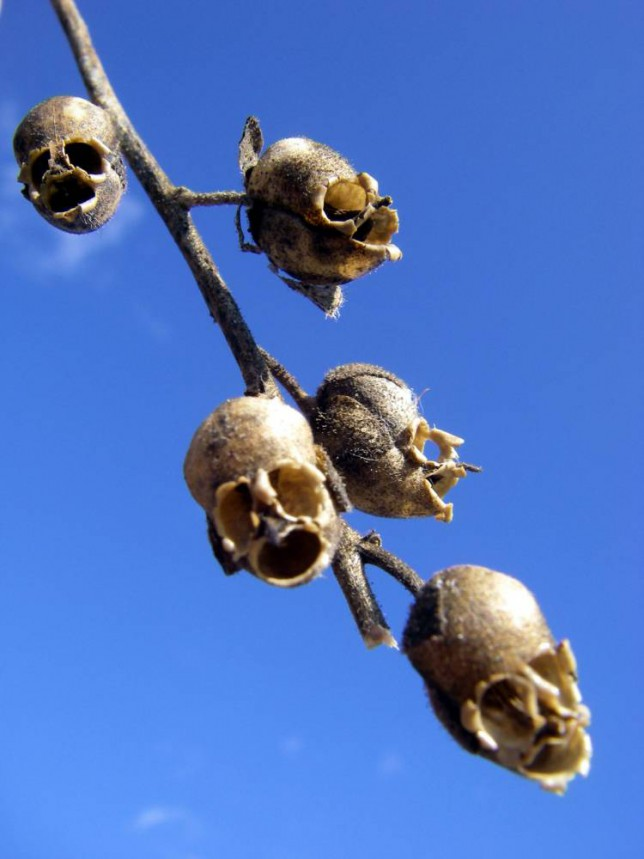 Snapdragon flowers are beautiful, but turn to skulls when they die