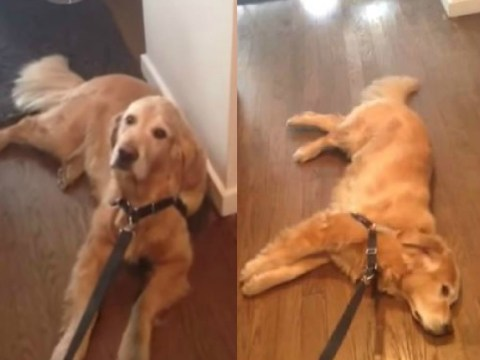 This lazy retriever really doesn't want to go for a walk