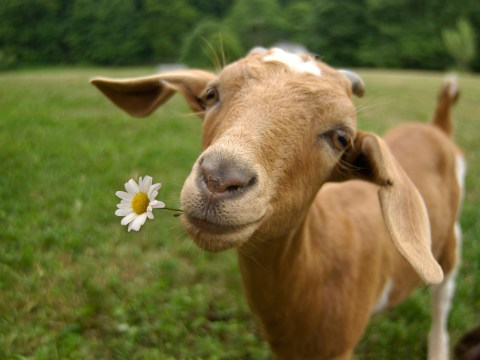 You can now rent goats on Amazon