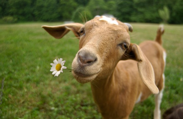 A brown goat eating a daisy.