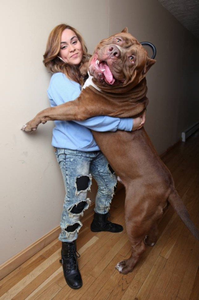 *** STRICT ONLINE EMBARGO UNTIL 00:01 ON TUESDAY 3/03 ***  *** EXCLUSIVE - VIDEO AVAILABLE *** NEW HAMPSHIRE, USA - FEBRUARY 20: Hulk with Frances Cummings at the Dark Dynasty K9s facility on February 22, 2015 in New Hampshire. A TODDLER hangs off the back of a super-sized pit bull - that could snap a man's arm with a SINGLE bite. But despite being a banned breed in the UK, breeders Marlon and Lisa Grennan say monster dog 'The Hulk' is 100 per cent trusted with their young son. Despite the lethal potential of 12-stone Hulk and the couple's many other dogs, three-year-old Jordan has grown up with them within arm's reach. The couple's company Dark Dynasty K9s supplies animals to high-profile celebrities, billionaires and wealthy professionals - as well as law enforcement around the world. They are trained to have 'no fear' and some specialist dogs can even run up the side of fences and walls to reach second-floor windows. Many their dogs share their house on a sprawling 150-acre ranch in New Hampshire, USA. The dogs include more than a dozen highly trained pit bulls - and a single chihuahua. PHOTOGRAPH BY Ruaridh Connellan / Barcroft USA UK Office, London. T +44 845 370 2233 W www.barcroftmedia.com USA Office, New York City. T +1 212 796 2458 W www.barcroftusa.com Indian Office, Delhi. T +91 11 4053 2429 W www.barcroftindia.com