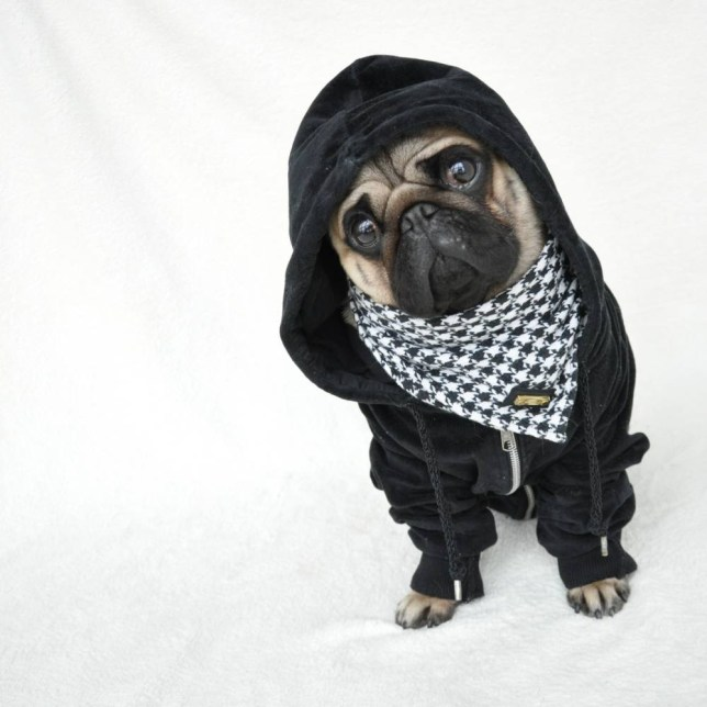 HERISAU, SWITZERLAND - UNKOWN: Pug life: Nutello wear a hoodie and scarf, in 2015, Herisau, Switzerland. AN ADORABLY grumpy pug with fashion sense fit to grace the pages of Vogue has become an instant internet sensation. Nutello, the one and a half year old fawn pug, entertains his 14,000 followers on Instagram with his fashion-forward outfits ñ complete with a model-worthy frown. Each post racks up more than 1,000 likes on his account '@nutellothepugí ñ despite Nutello only joining the social network in October 2014. The level of interest the hipster pet has amassed has taken his owners, Melina Kapkovic and her husband Tarik, from Herisau, Switzerland, by surprise. PHOTOGRAPH BY @nutellothepug / Barcroft Media UK Office, London. T +44 845 370 2233 W www.barcroftmedia.com USA Office, New York City. T +1 212 796 2458 W www.barcroftusa.com Indian Office, Delhi. T +91 11 4053 2429 W www.barcroftindia.com