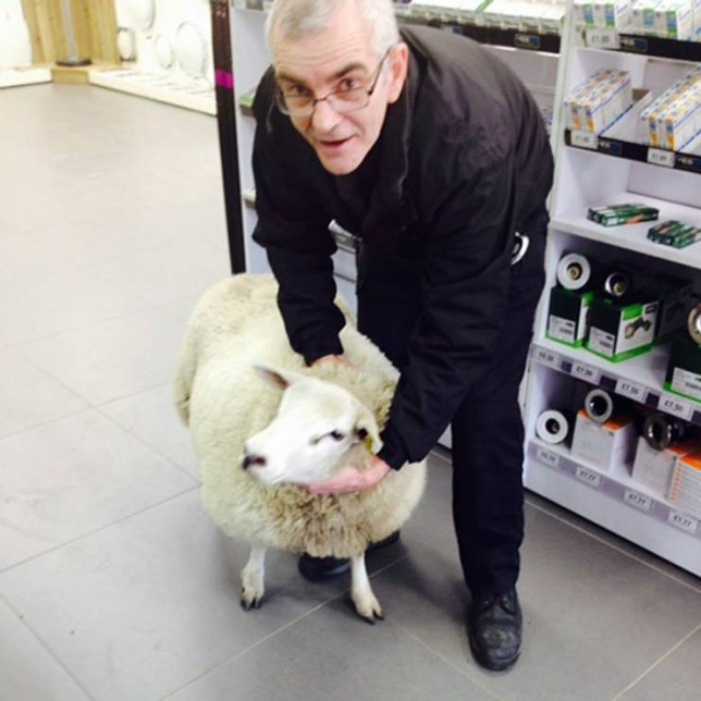 """MANDATORY CREDIT: Rex Features  Mandatory Credit: Photo by REX (4536249b)  After 15 minutes running amok, the sheep was finally bought under control  Sheep ram-raids an electrical wholesale store, Livingston, Scotland  - 16 Mar 2015  Staff at an electrical wholesaler are feeling a little SHEEPish this week after they were RAM-raided by a lone sheep.   Having hopped over a local farmer's wall, the woolly jumper walked over a mile to the YESSS Electrical store on Houston Industrial Estate, Livingston, West Lothian.   After head-butting the door and cracking two panes of glass, the sheep entered the store, running staff amok.     Branch manager Mark RAMsay (seriously!), 40, from Livingston, said staff were chasing the sheep down the aisles for over 15 minutes.  """"It was surprisingly quick and nimble,"""" he said. """"We get all sorts of customers in store, but this is definitely the first sheep.   """"It had the staff chasing their tails for a quarter of an hour. It definitely pulled the wool over their eyes.""""   Staff finally managed to collar the sheep and manager Mark contacted a local farmer who came to collect it.  The store is reportedly planning to put a sign on the door saying all sheep are BAAAArred from the store."""