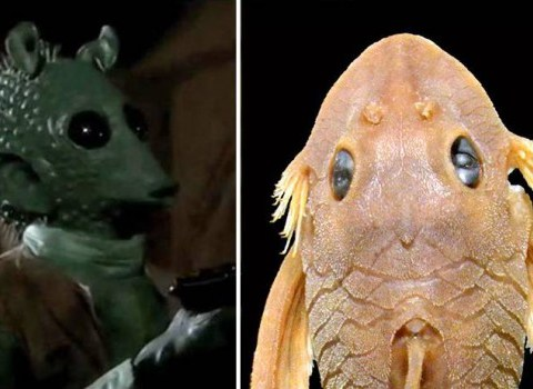 Stop everything: A new species of fish has been named after Star Wars character Greedo and we can see why