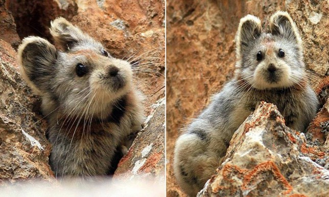 li Pika: Scientists Photograph Extremely Rare, Teddy Bear-like Mammal For The First Time In 20 Yearsn