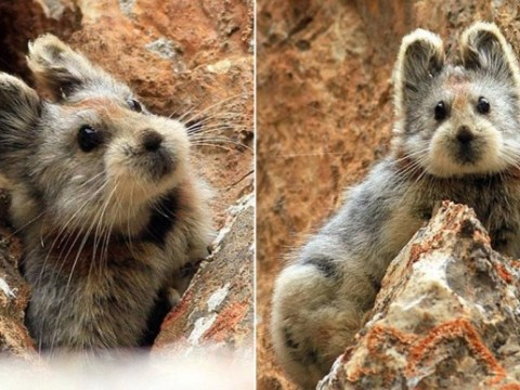 Too cute to live? Pika is facing extinction because it's too popular