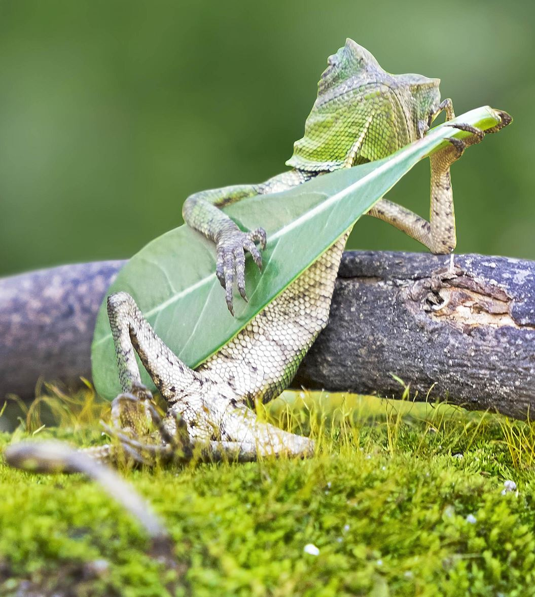 This leaf-strumming lizard thinks it's Jimi Hendrix