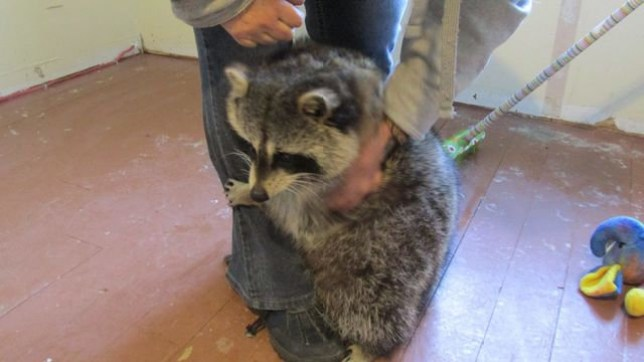 Nymous the Raccoon loves a good hug (Picture: Facebook/ Jo Bouchard)