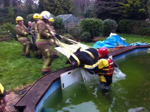 Firefighters save 20-stone pig called Piglet from swimming pool