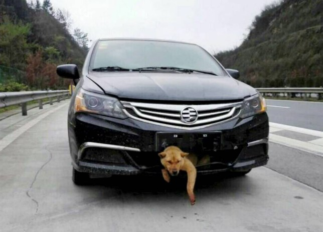 Mandatory Credit: Photo by Imaginechina/REX (4606581g)  The dog stuck in the grill of the car  Dog survives being hit by car and carried in bumper for 400km, Hunan Province, China - 26 Mar 2015  A lucky dog survived after being hit by a car on an expressway in central China's Hunan province and getting carried trapped in the grill for 400 kilometres. The accident happed when the driver, surnamed Zhang, was driving home to Loudi city in Hunan province. The car hit the dog when it was crossing the expressway. Mr. Zhang did not stop but drove on as he thought the dog had been killed. However, further down the road he started to hear a dog barking and pulled over to check. What he discovered was the dog wedged in the grill above the bumper of his car. As it was tightly trapped, Mr. Zhang decided to drive on and carried the dog for 400 kilometers. After arriving in Loudi, Zhang drove his car directly to a pet hospital and asked for help. Finally the dog was pulled out of the bumper and, amazingly, was discovered to only be slightly injured. Mr. Zhang has now decided to adopt the dog.