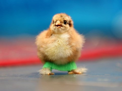 Super cute chick Roley gets leg splints to stop her falling over