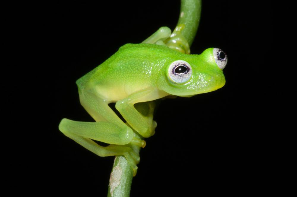 Tucked away in the Talamanca mountains, a tiny, semi-translucent frog lurked out of scientists' sight during more than a century of field work in the area. But the newly discovered frog, Hyalinobatrachium dianae, made its world debut in February in the taxonomy journal Zootaxa.  Characterized by a lack of pigmentation in their skin, glass frogs can only be found in parts of Central and South America. Some glass frogs, including H. dianae, are so translucent that their organs are visible from their underside, hence the name.  Herpetologists are unsure of the practical reason for the frogs' see-through appearance, but it is possible that their translucence aids in camouflage. Of the 149 species of glass frogs, 14 can be found in Costa Rica.  H. dianae is the first glass frog discovered in Costa Rica since 1973. The frog is named for Janet Diana Kubicki, the mother of the frog's discoverer Brian Kubicki, as well as the Roman hunting goddess, Diana.
