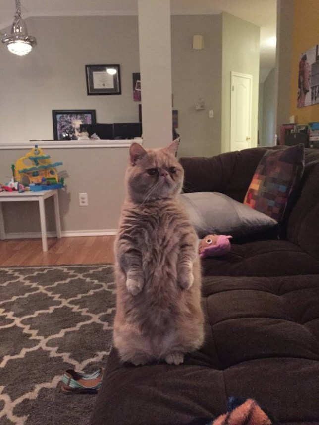 George is a cat that prefers to stand on 2 legs. Link to http://www.reddit.com/r/aww/comments/33faji/george_is_a_cat_that_prefers_to_stand_on_2_legs/