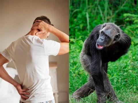 Bad-back sufferers have chimpanzee vertebrae, study finds
