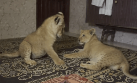 What could go wrong? Family rescues lions from Gaza zoo and keeps them as pets