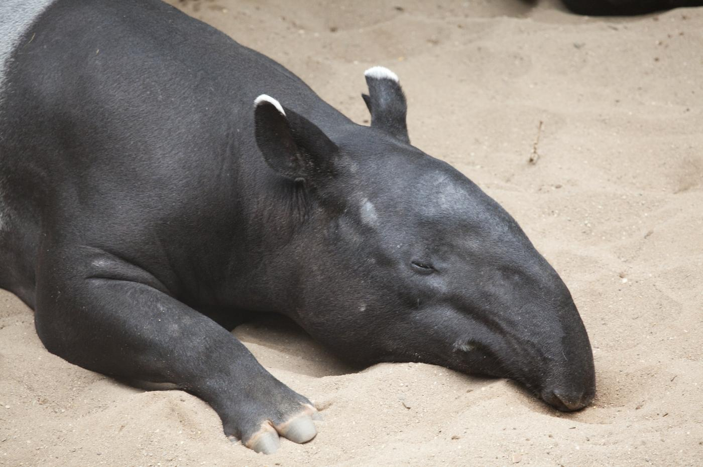 It's World Tapir Day (Picture: JaysonPhotography)