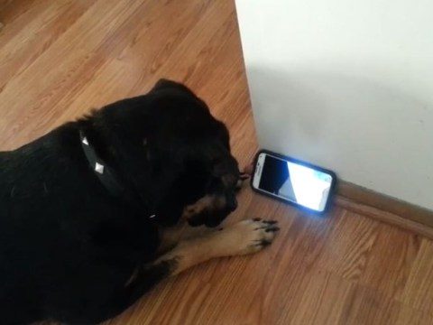 This dog is just as addicted to Netflix as we are