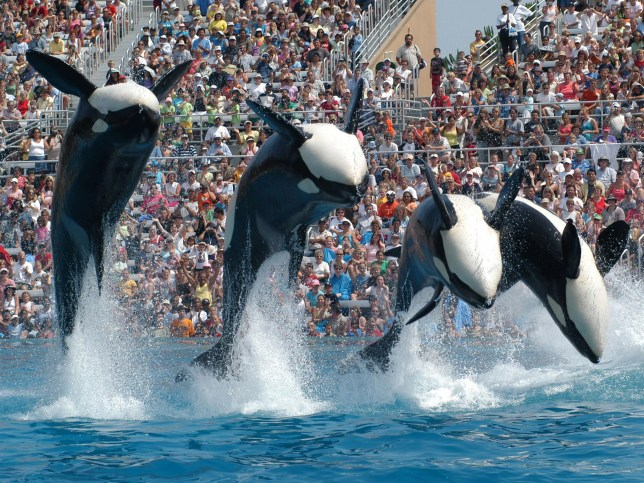 This will be Seaworld's last generation of orcas (Picture: PA)
