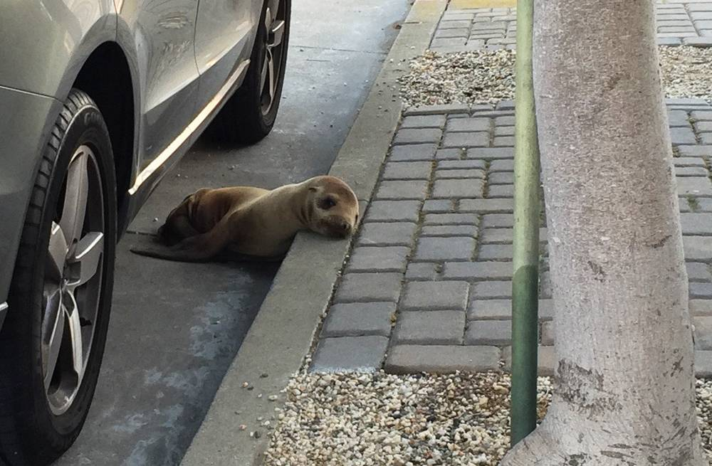 Malnourished sea lion found hidden under car in San Francisco