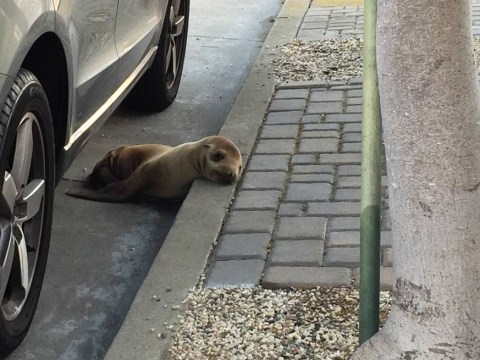 Malnourished sea lion found hidden under car in San Francisco